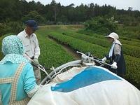 茶畑、茶刈り