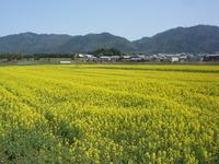 菜の花畑、菜種栽培