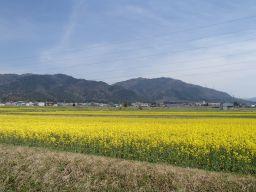 百済寺菜の花2014.4.11_256