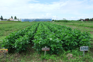 大豆 無農薬栽培