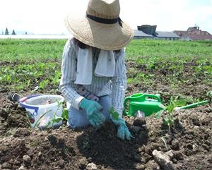 大豆 無農薬栽培 補植