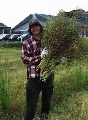 菜種収穫 刈り取り