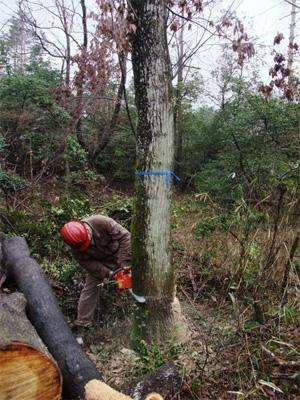 コナラ伐採
