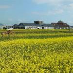 一からの米づくり体験 菜の花緑肥