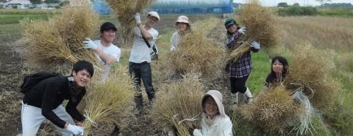 菜種収穫体験