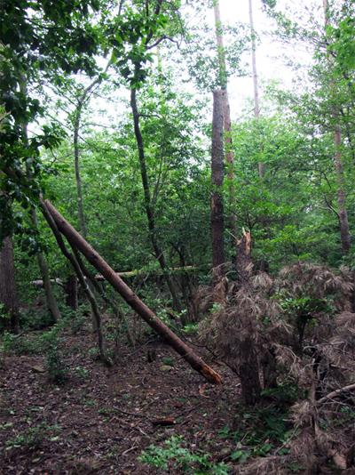 里守隊 オオコバの森 倒木 枯松 台風