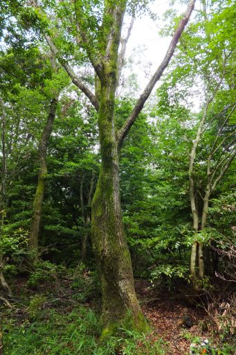 里守隊 オオコバの森 コナラ