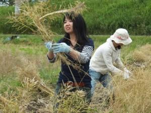 菜種収穫体験、手刈り
