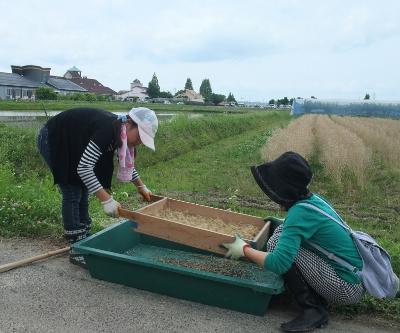 ナタネ収穫