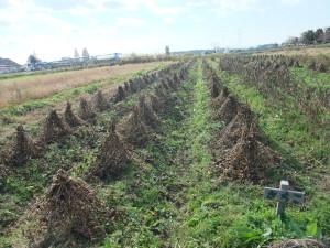 すっきり大豆畑