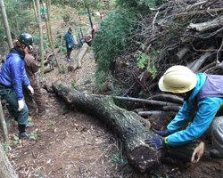 コナラ伐採、林内作業車